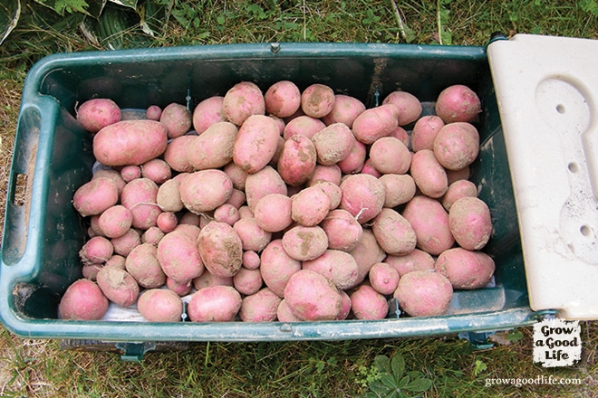 Cart of Storage Potatoes | Grow a Good Life