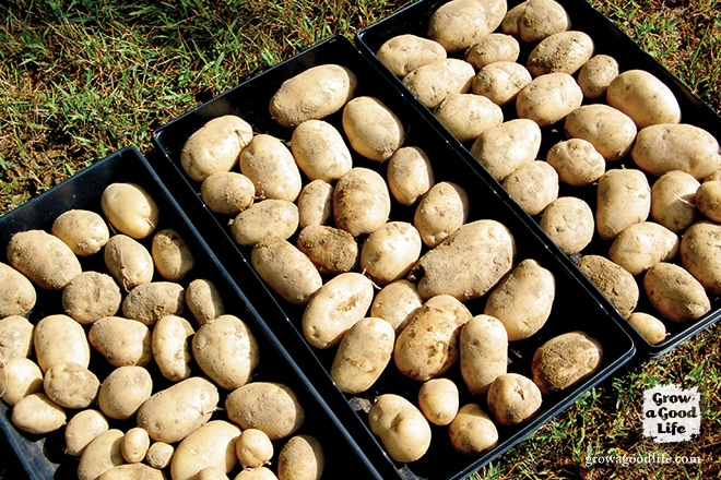 Curing Potatoes for Storing   Grow a Good Life