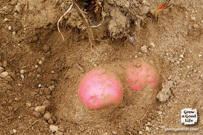 Digging Potatoes for Storing | Grow a Good Life