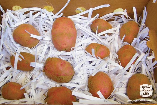 Storing Potatoes   Grow a Good Life