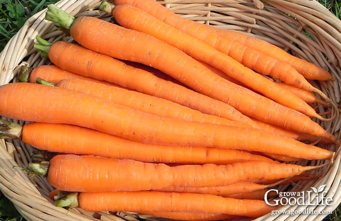 Canning carrots is a great way preserve them when abundant and in season.