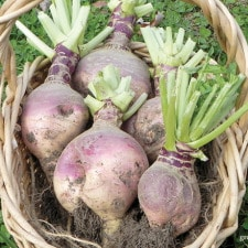Rutabaga Harvest | Grow a Good Life