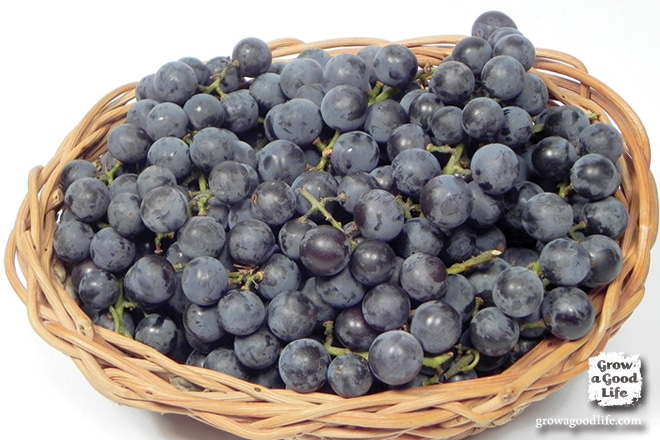 Homemade Concord Grape Juice   Grow a Good Life