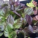 Lettuce Grown Under Lights