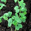 Grow an Indoor Garden: Microgreens via Grow a Good Life