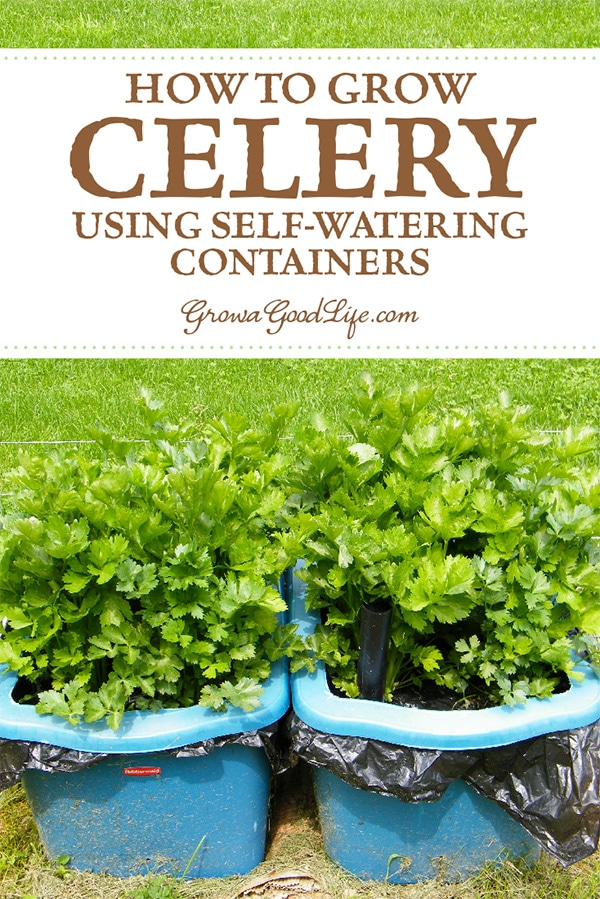 Growing celery in self-watering planters is so much easier than growing in the garden. Once the seedlings are transplanted, the only maintenance is to keep the water reservoir topped off. The fertilizer strip delivers consistent nutrients, and the wicking action of the self-watering container provides all the water the plants need.