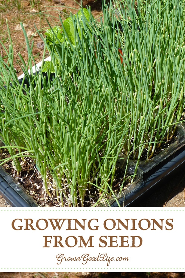 Growing onions from seed opens up a wide diversity of shapes, flavors, sizes, and colors to grow. Here are some tips on selecting varieties for your growing area and how to start onions from seed indoors under lights.