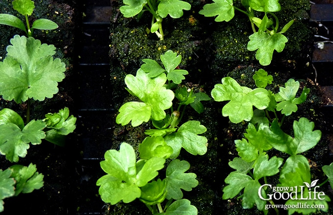 Growing celery from seed can be a challenge. Celery has a long growing season and takes a while to develop when sowing from seed. Here are some tips on how to start celery plants from seed and using self-watering containers to maintain the moisture levels needed for the plants to thrive.