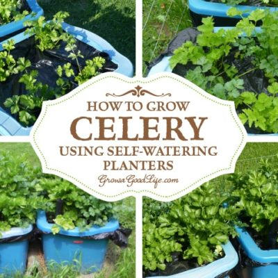 How to Grow Celery Using Self-Watering Planters