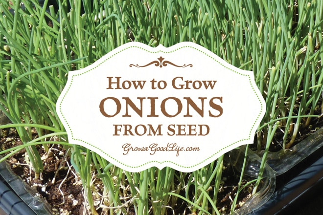 How to Grow Onions from Seed | Grow a Good Life
