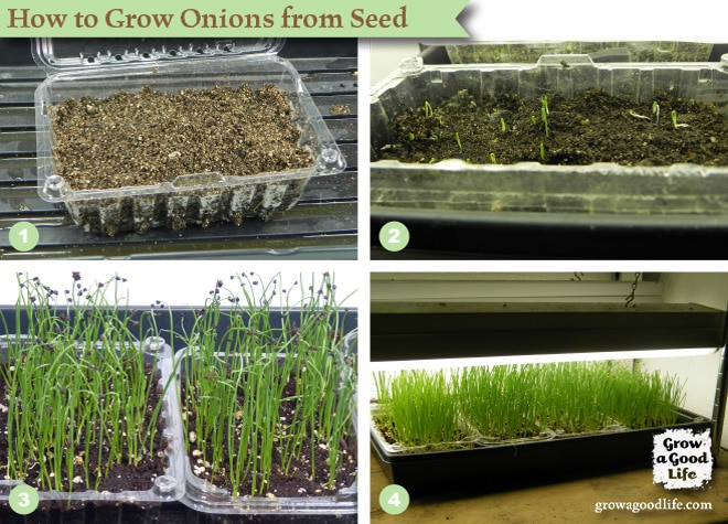 How to Grow Onions from Seed   Grow a Good Life