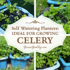 Self Watering Planters: Ideal for Growing Celery | Grow a Good Life