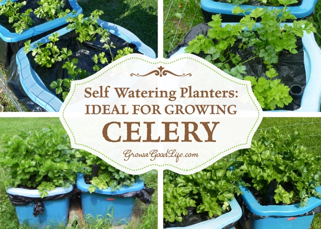 how to make celery water