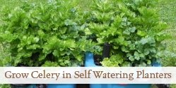 Grow Celery in Self Watering Planters