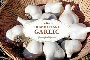 How to Plant Garlic in the Fall Garden | Grow a Good Life