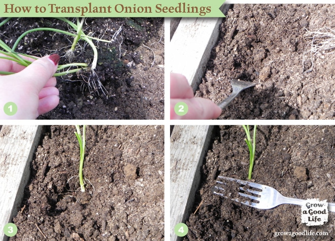 How to Transplant Onion Seedlings | Grow a Good Life