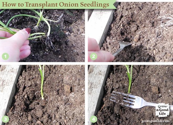 How to Transplant Onion Seedlings   Grow a Good Life