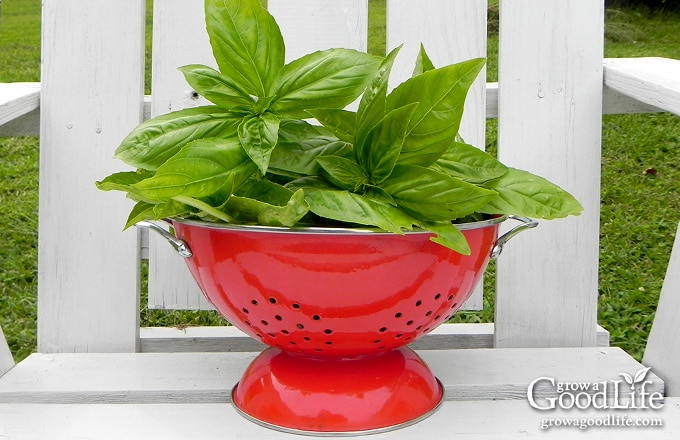 "Italian Genovese Basil (Ocimum basilicum) is a tender annual herb that grows as an attractive bushy, upright plant with broad, smooth, shiny green leaves. Also called ""Sweet Basil"" as it has a sweet and delicate flavor that blends well with tomato dishes as well as pesto."