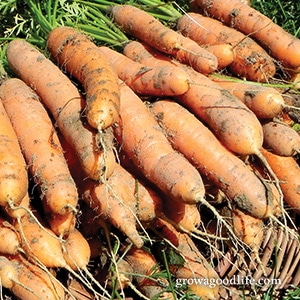 Crops to Grow for Food Storage: Carrots | Grow a Good Life