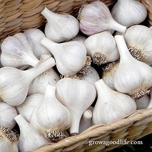 Crops to Grow for Food Storage: Garlic | Grow a Good Life