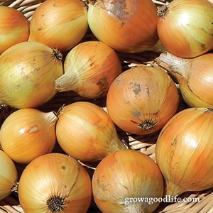 Crops to Grow for Food Storage: Onions | Grow a Good Life