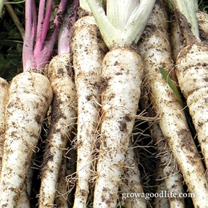 Crops to Grow for Food Storage: Parsnip | Grow a Good Life