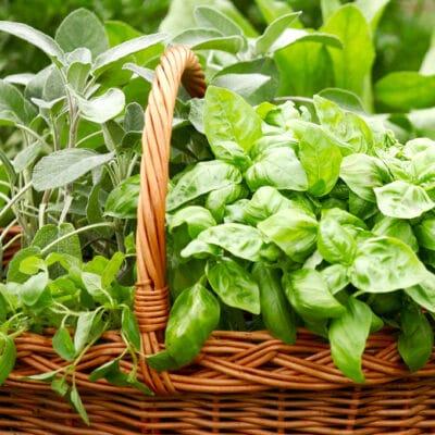 harvest basket with freshly harvested herbs