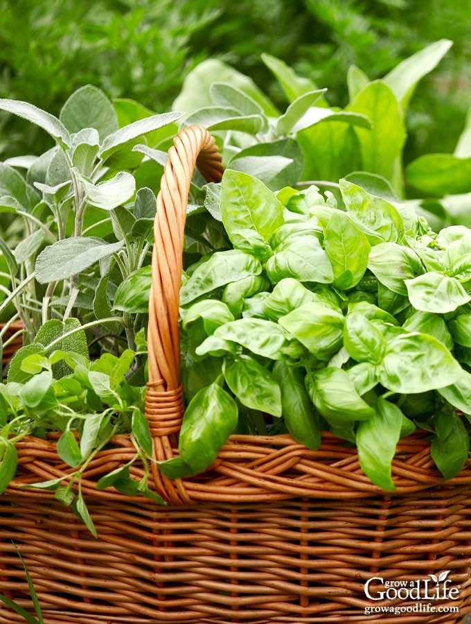harvest basket with freshly harvested herbs