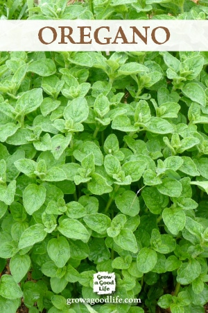 Growing Herbs: 7 Herbs to Start from Seed | Oregano | Grow a Good Life