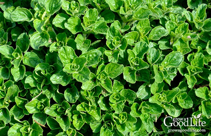 Greek Oregano (Origanum heracleoticum) is a hardy perennial that is easy to grow. Oregano is widely used in Italian and Greek food and complements many other dishes such as stews, grilled meats, pizza, salads, and soups.