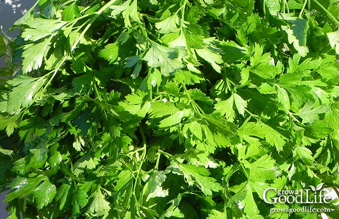 A large harvested of flat leaf parsley in a bowl