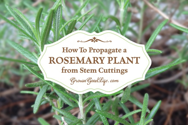 How to Propagate a Rosemary Plant from Stem Cuttings | Grow a Good Life