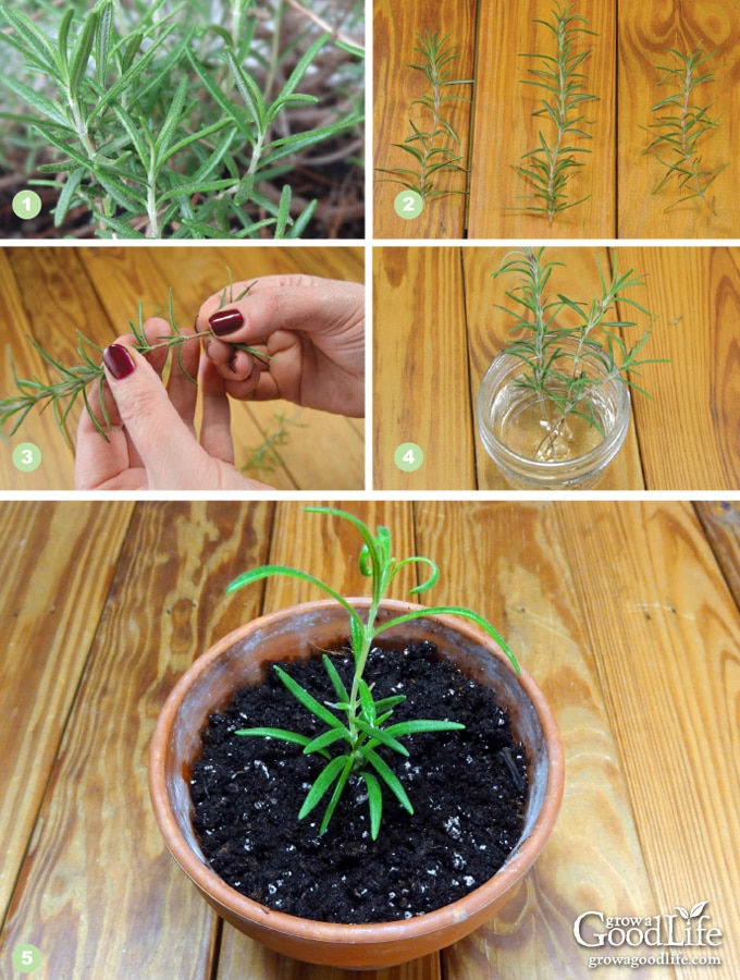 Steps to taking rosemary cuttings from an established mother plant and grow new rosemary plants in containers that can be moved outside in summer and indoors in winter.