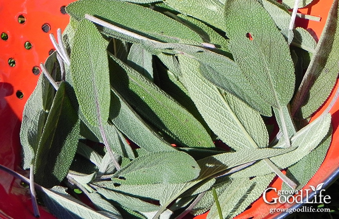 Sage (Salvia officinalis) is a shrubby perennial herb with woody stems, gray-green leaves, and blue to purplish flowers. It has a savory, slightly peppery flavor that compliments sausage, stuffing, pork, poultry, game, and vegetables.