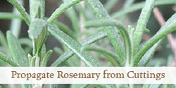 How to Propagate Rosemary from Stem Cuttings