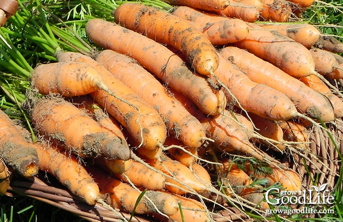 Do you have area in your home that stays cool during the winter months? If so, you can make use of these cold spots to keep storage crops fresh well into winter. Try experimenting with growing some of these vegetables for winter food storage.