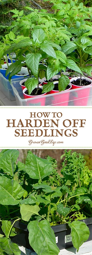 "If you grow your own seedlings indoors under lights, or if you purchase transplants from a nursery greenhouse, you will need to acclimate your seedlings before transplanting them into the garden. This adjustment process is called ""Hardening Off."""