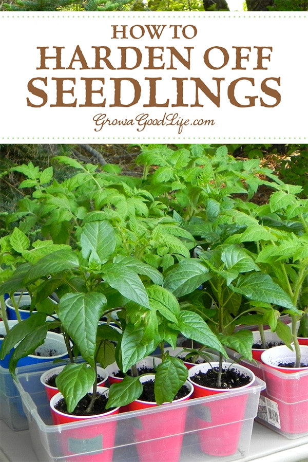 "How to Harden Off Seedlings: If you grow your own vegetable garden seedlings indoors under lights, or purchase transplants from a nursery greenhouse, you will need to adapt your seedlings before transplanting them into the garden. This adjustment process is called ""Hardening Off."""