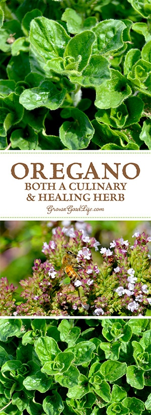 Some of the herbs we often think of as culinary herbs also have incredible medicinal value as healing herbs. Oregano is one of these double duty herbs. See how you can grow, harvest, dry, and use oregano as a natural medicine.