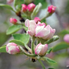 Apple Blossoms   Grow a Good Life