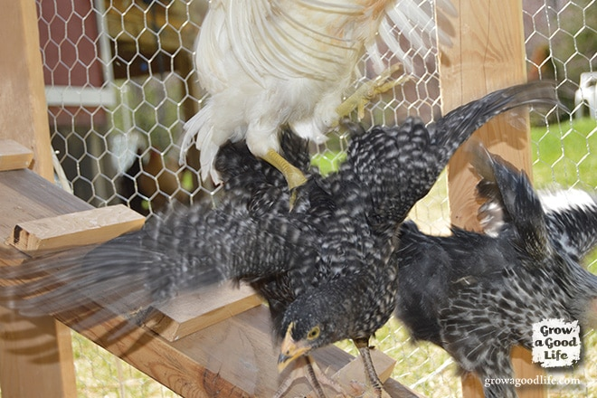 Adding Chickens to the Flock | Grow a Good Life
