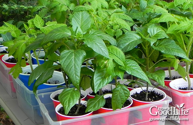 Hardening off is an important step to reduce stress on your plants. If you harden off seedlings properly, they will be strong and capable of withstanding full sunlight, light breezes, spring rains, and fluctuating temperatures.