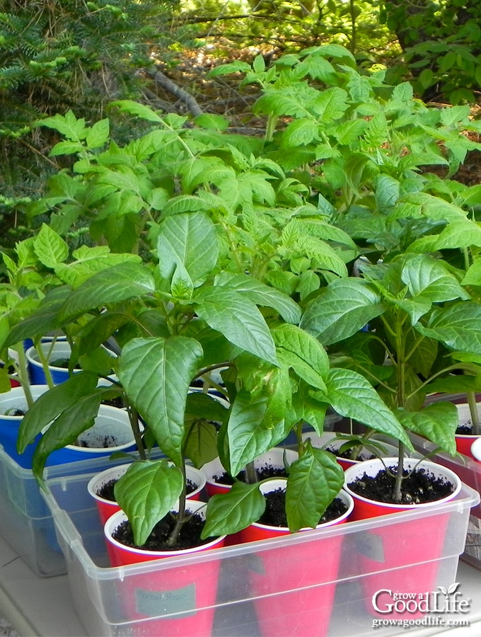 young pepper and tomato seedlings on a table outside in the shade
