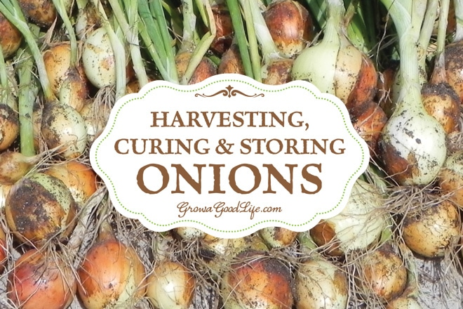 Harvesting, Curing, and Storing Onions