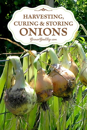 Learn How to harvest and cure storing onions so they last through the winter and provide delicious flavor to winter soups, bone broths, chili, stews, and roasts.