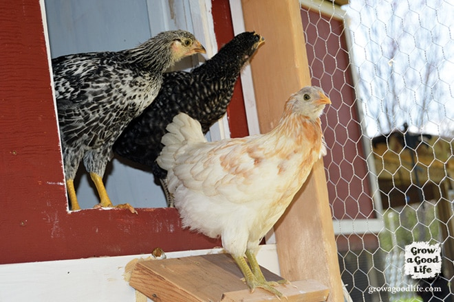 Meet the New Chicks in the Flock | Grow a Good Life