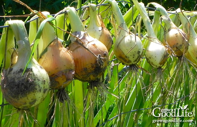 freshly harvested onions hanging over a wire fence
