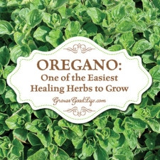 Oregano: One of the Easiest Healing Herbs to Grow | Grow a Good Life