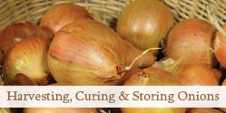 Harvesting, Curing and Storing Onions | Grow a Good Life