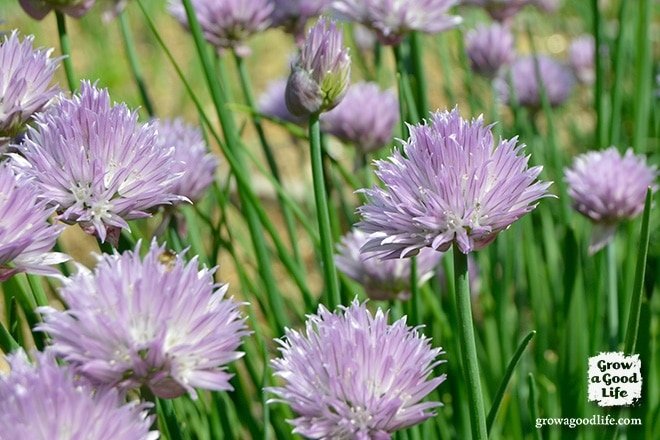 Make your own chive blossom vinegar. See how easy it is to infuse vinegar with a subtle onion essence and a purple blush of color.